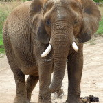 513px-Elephant_at_Indianapolis_Zoo
